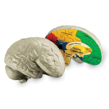 Piankowy model mózgu