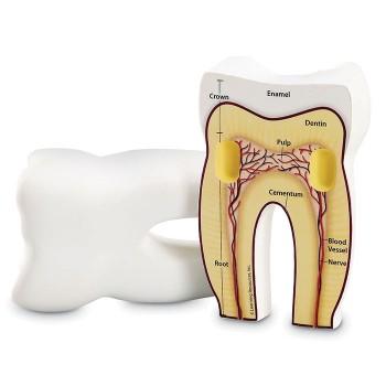 Piankowy model zęba