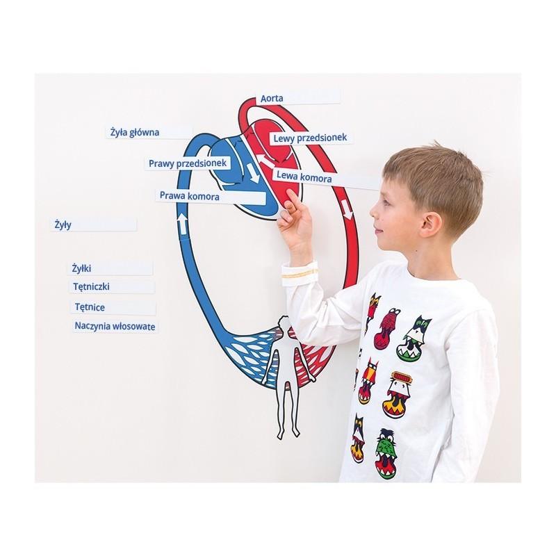 Obieg krwi - schemat magnetyczny