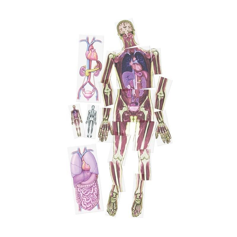 Organy człowieka - foliogramy