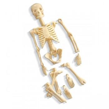 Szkielet człowieka - model