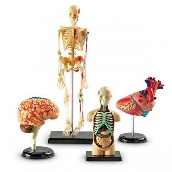 Modele anatomiczne - zestaw