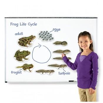 Żaba - cykl rozwojowy