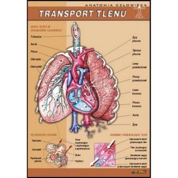 Plansza - Biologia - Transport tlenu