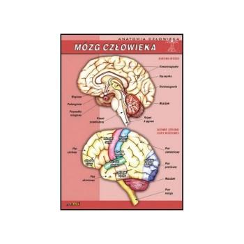 Plansza - Biologia - Mózg człowieka