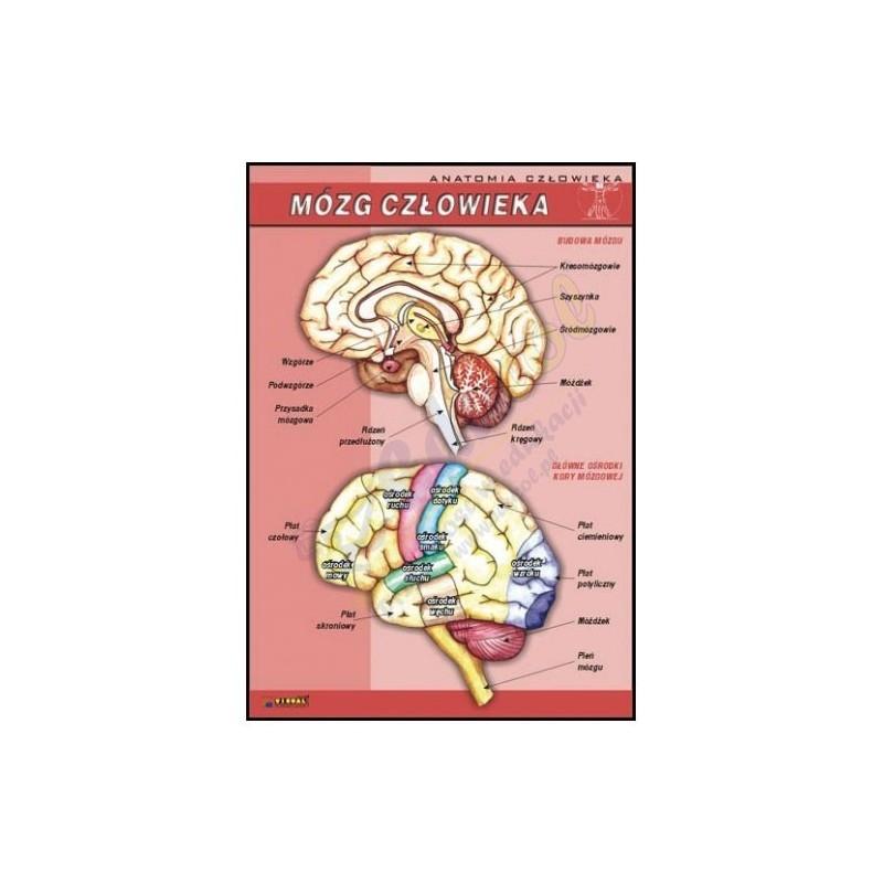 Plansza - Biologia - Mózg człowieka  70x100cm