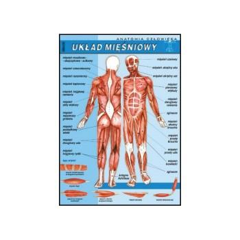 Plansza - Biologia - Układ mięśniowy