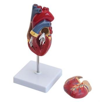 Model serca naturalnych rozmiarów