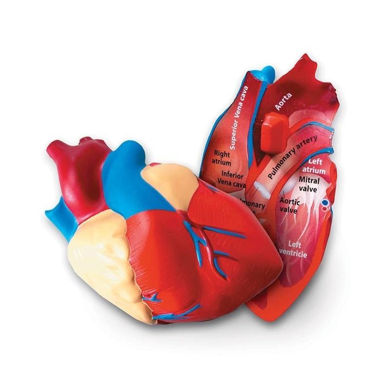 Piankowy model serca