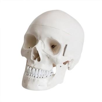 Model czaszki człowieka