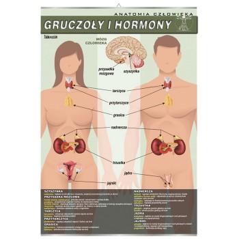 Plansza - Biologia - Gruczoły i hormony