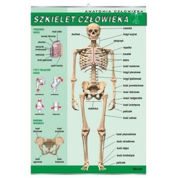Plansza - Biologia - Szkielet człowieka