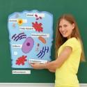Magnetyczny model komórki zwierzęcej