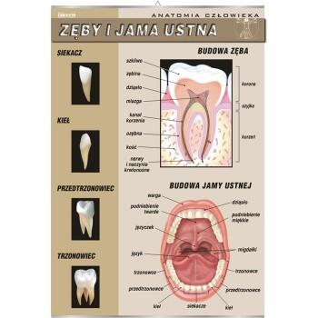 Plansza - Zęby i jama ustna
