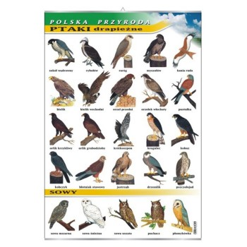 Plansza - Ptaki drapieżne i sowy