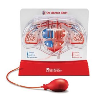 Duży model serca  z pompką