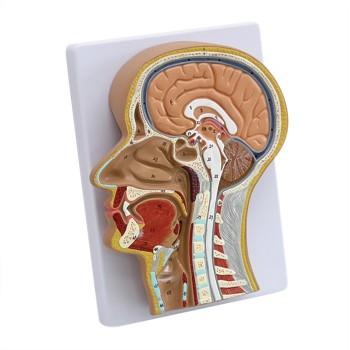 Model przekroju głowy