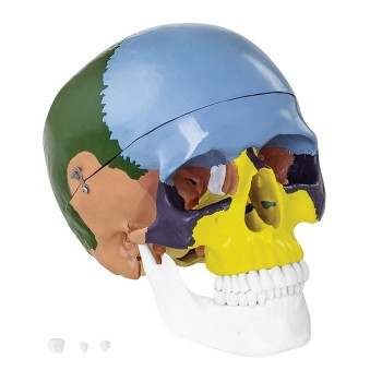 Kolorowy model czaszki człowieka