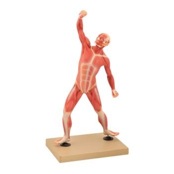Układ mięśniowy - 50 cm
