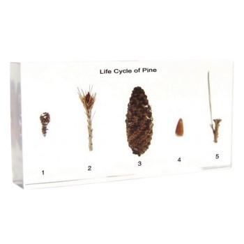 Botanika - okazy w akrylu - Cykl rozwojowy sosny