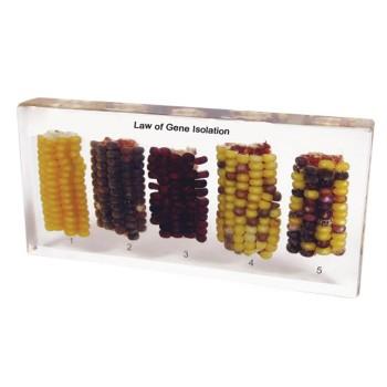 Botanika - okazy w akrylu - Genetyka: krzyżowanie kukurydzy