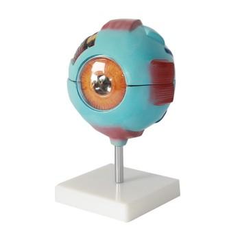 Model oka 6x powiększone