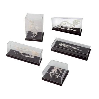 Komplet 5 szkieletów (ryba, płaz, gad, ptak, ssak) - modele na podstawie
