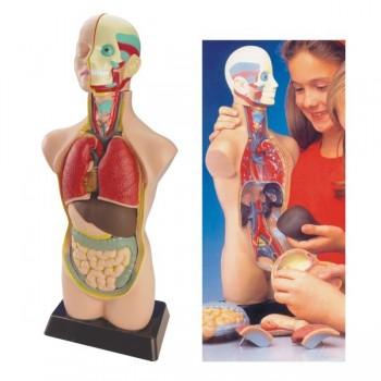 Anatomia tors