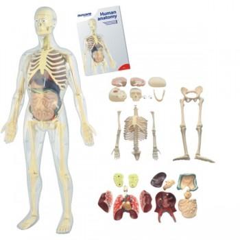 Anatomia - szkielet